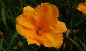 Die Taglilie bringt als Gartengestaltung Idee Abwechslung in das Staudenbeet.