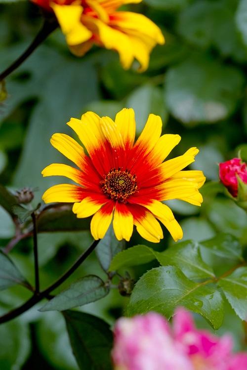 Mit seinem natürlichen Charme passt das Sonnenauge sehr gut in Bauern- und Naturgärten. (Gartengestaltung Bilder #04)