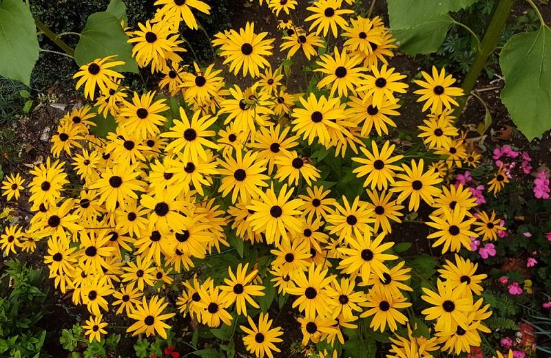 Lässt man die Samenstände im Herbst stehen, zeigt sich die Rudbeckia im Winter als attraktive Strukturpflanze und dient gleichzeitig als Futter für verschiedene Vögel. (Gartengestaltung Bilder #06)