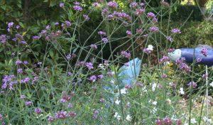 Die blauviolette Pracht. Wenn Sie einen Bauerngarten anlegen, darf das Eisenkraut nicht fehlen.