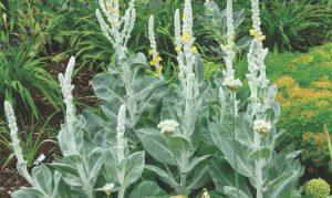 Wenn Sie Ihren Bauerngarten anlegen, komplimentiert die Königskerze Ihre Gartengestaltung.