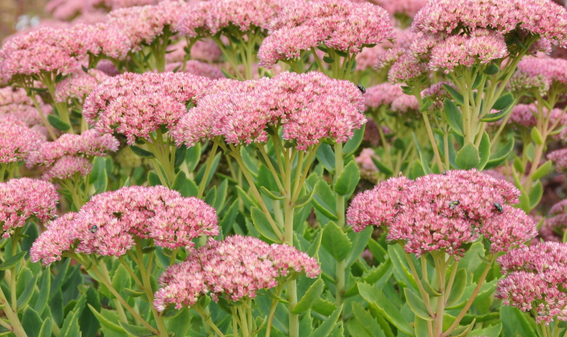 Egal, ob Herbstbeet oder Bauerngarten anlegen: Der Mauerpfeffer passt perfekt ins Bild.