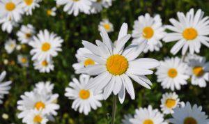 Die strahlend weiße Wiesenmargerite passt ideal in Ihren angelegten Bauerngarten.