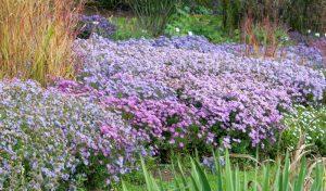"""Die Gartenexperten empfehlen außerdem die """"Blaue Lagune"""" als tolle Bauerngarten Pflanze."""