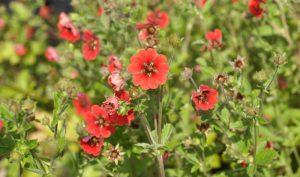 Das Fingerkraut: Gartengestaltung zum Nachmachen.