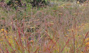 Eine Garten Idee zum Nachmachen: Die Ruten-Hirse.