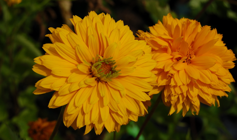 Das goldene Sonnenauge bietet eine tolle Möglichkeit den Garten selbst zu gestalten.