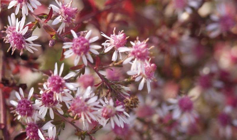 Die purpurne Aster ist ein tolles Beispiel für die kreative Gartengestaltung.