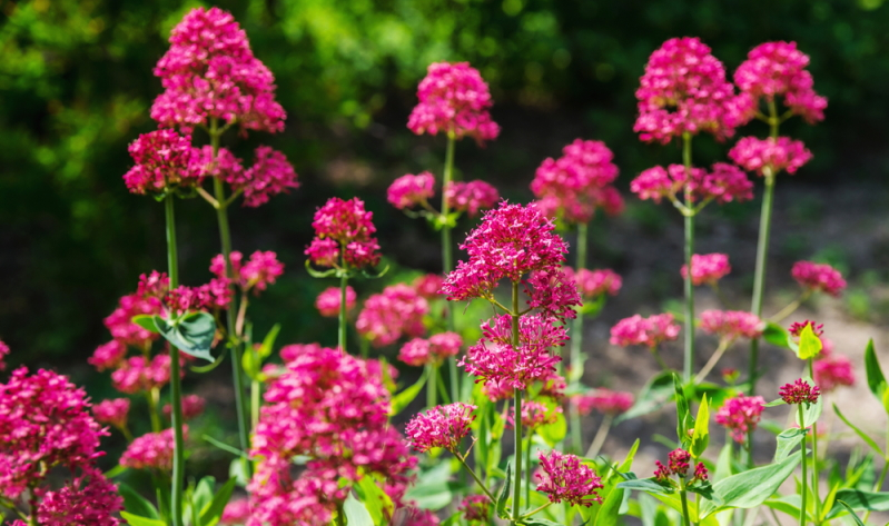 Die Blütenrispen der weißen oder roten Spornblume ergänzen die Gartengestaltung.