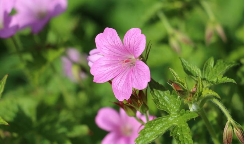 Der Storchenschnabel in seinen Weiß- oder Violetttönen bildet das ideale Beispiel für tolle Gartengestaltung.