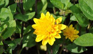 Die ausdauernde Sonnenblumen eignet sich besonders gut beim Anlegen ihres Staudenbeets.