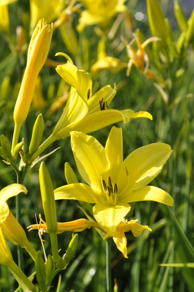 Die leuchtende Taglilie eignet sich ideal, wenn Sie Ihr persönliches Staudenbeet anlegen.