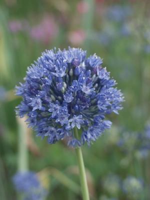 Die blauen Blütenbälle der Allium Caeruleum machen das Garten gestalten einfach.