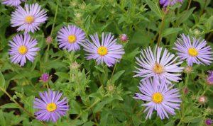 Mit der zart violetten Aster gestalten Sie Ihre Garten Ideen.