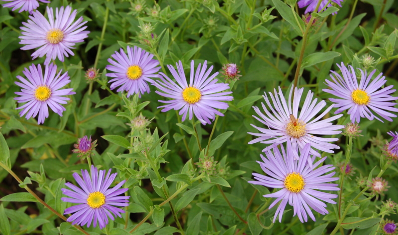 Mit der zart violette Aster gestalten Sie Ihre Garten Ideen.