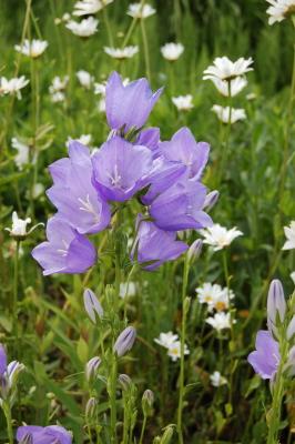 Garten gestalten Ideen: die Glockenblume.