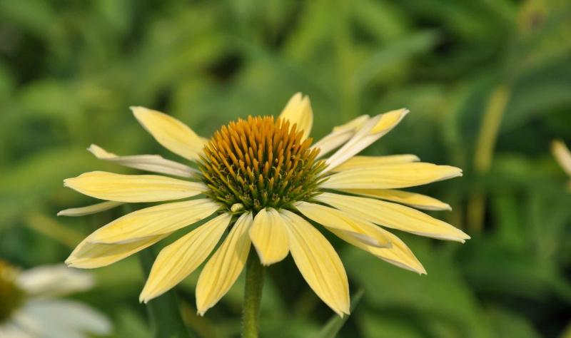 Mit seinen hellen Blüten ist der Sonnenhut ein toller Garten Pflanzen Tipp vom Experten.