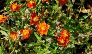 Die Sonnenröschen bilden zusammen mit den anderen Stauden der Silbermischung tolle Garten Pflanzen Tipps vom Experten.