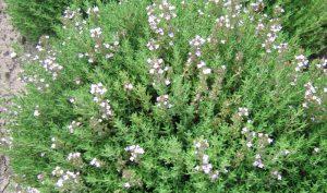 Thymian (Thymus vulgaris) ist ein vielseitiges Heil- und Gewürzkraut.