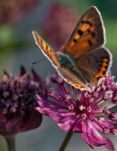 Bauerngarten: 5 Blumen, die nicht fehlen sollten