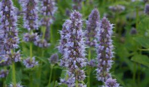 Die violetten Blütenkerzen der Bauerngarten Blumen Duftnessel runden Ihren Garten ab.