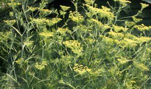 Bauerngarten Blumen: Bronze-Fenchel ist gleichzeitig ein Gewürzfenchel, dessen Blätter und Samen in der Küche vielseitig verwendet werden können.