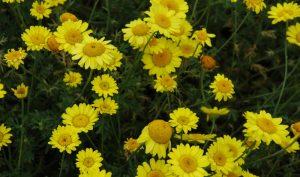 Die Hundskamille ist ein echter Hingucker unter den Bauerngarten Blumen.