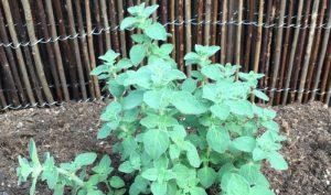 Majoran: Diese Heilkräuter eignen sich ebenfalls toll als Bauerngarten Pflanzen.