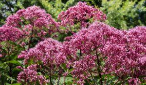Der Wasserdost eignet sich mit seiner leuchtenden Blütenpracht ideal als Bauerngarten Blume.