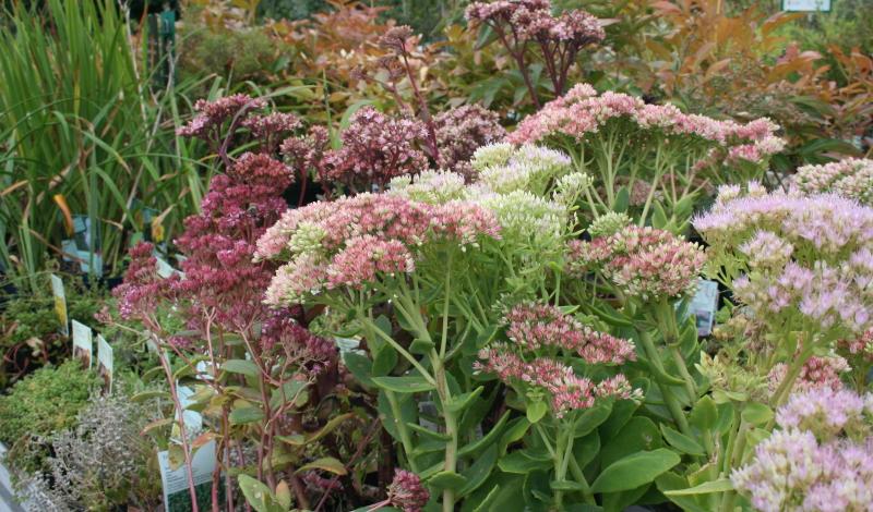 Garten anlegen: Die Fetthenne (Sedum spectabile) ergänzt Ihre Gartenbepflanzung ideal.