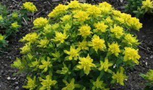 Die Gold-Wolfsmilch (Euphorbia polychroma) hat einen aufrecht buschigen Wuchs und wird 35-40 cm hoch.