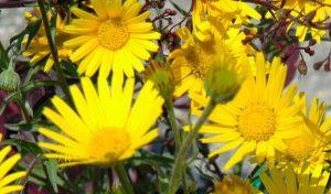 Das Ochsenauge (Buphthalmum salicifolium) ist eine prächtige Staude, die in jedem Beet mit den gelben, margeritenähnlichen Blüten zum Blickfang wird.