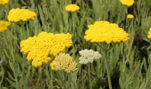"""Von Juni bis September erfreut uns die Schafgarbe """"Coronation Gold"""" mit ihren goldgelben Blütentellern."""