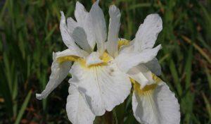 Die orchideenartigen Blüten der Schwertlilie (Iris sibirica) sind eine tolle Möglichkeit Ihren Garten anzulegen.