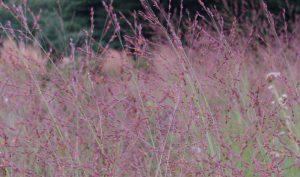 """Die Ruten-Hirse """"Rotstrahlbusch"""" (Panicum virgatum) beeindruckt durch ihre spektakuläre Farbe im Herbst."""