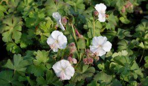 """Der Storchschnabel """"Biokovo"""" (Geranium x cantabrigiense) ist neben den zarten, weißen Blüten vor allem auch wegen seiner langen Blütezeit beliebt, die von Mai bis Juli dauert."""