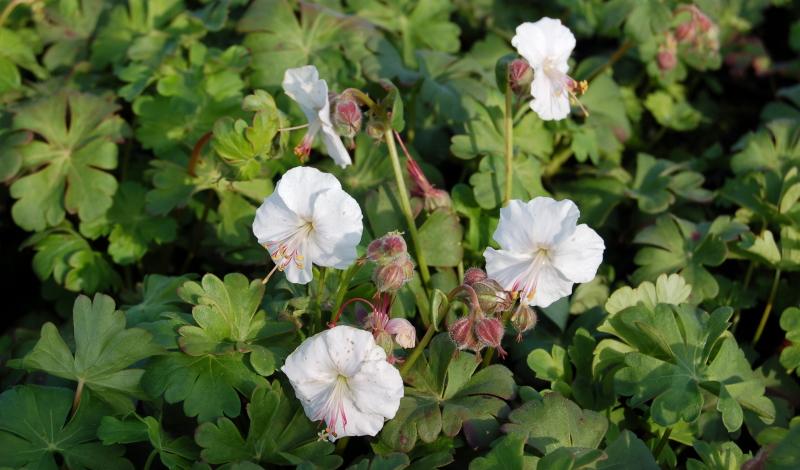 """Der Storchschnabel """"Biokovo"""" ((Geranium x cantabrigiense) ist neben den zarten, weißen Blüten vor allem auch wegen seiner langen Blütezeit beliebt, die von Mai bis Juli dauert."""