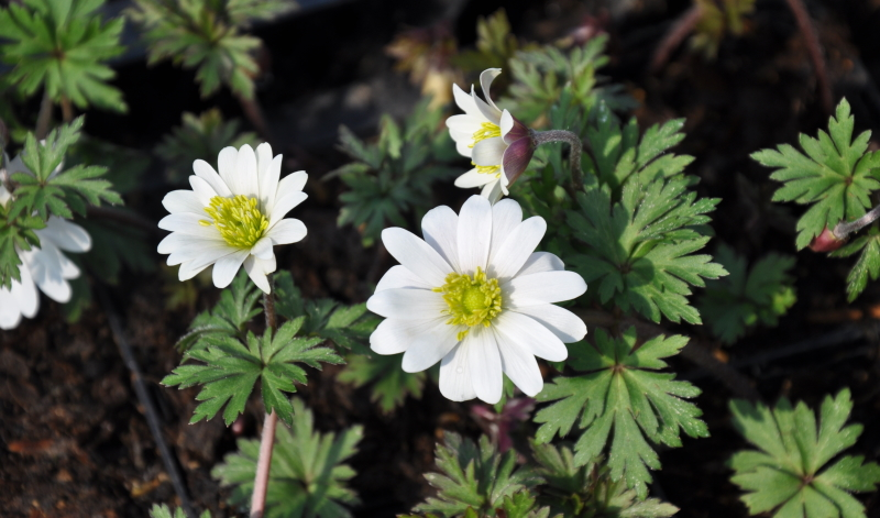 "Garten neu anlegen: Die ""White Splendour"" (Anemone blanda) bringt Balkan-Flair"
