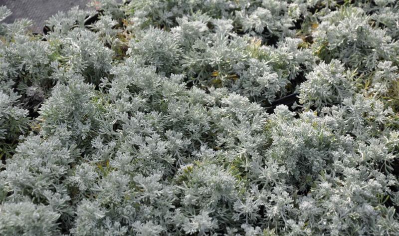 Die Edelraute (Artemisia schmidtiana): Unser Gartentipp zum Garten neu anlegen.