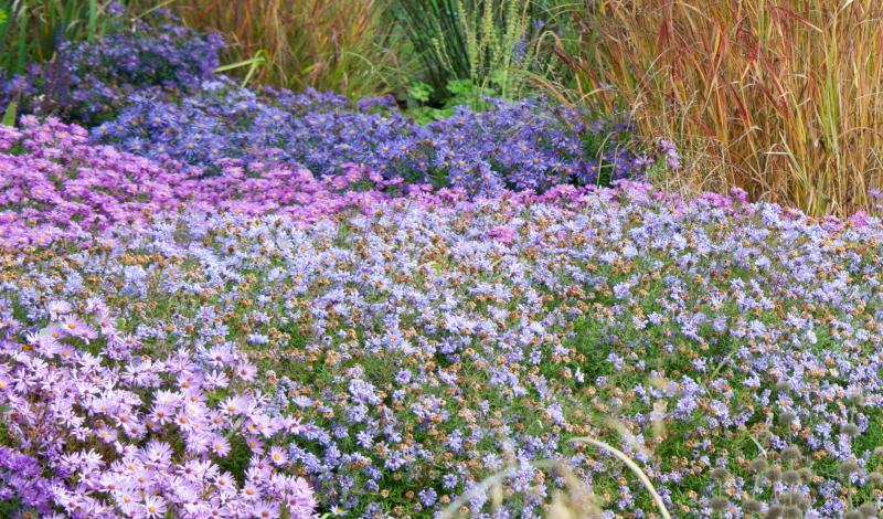 Garten neu anlegen: Die Kornblumenaster (Stokesia laevis Mary Gregory)