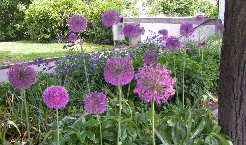 Das Kugellauch (Allium sphaerocephalon) schwebt über der Pflanzung: Garten neu anlegen.