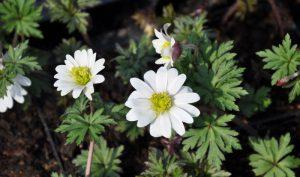 """Das Balkan-Windröschen (Anemone blanda) oder auch """"White Splendour"""" überzeugt mit ihrer """"weißen Pracht""""."""