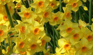 Als besonderer Frühlingsbote bekannt sollte die Narzisse bei der Gartenplanung nicht fehlen.