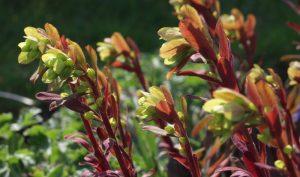 Besonders beeindruckend zeigt sich die rotblättrige Wolfsmilch mit ihren roten Blättern im Herbst und Winter.