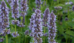 """Duftnesseln 'Blue Fortune' (""""Agastache"""") sind für die Gartengestaltung für kleine Gärten wunderbar geeignet."""