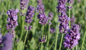 """In kleine Gärten gehört unbedingt Lavendel (""""Lavandula hidecote blue"""")!"""