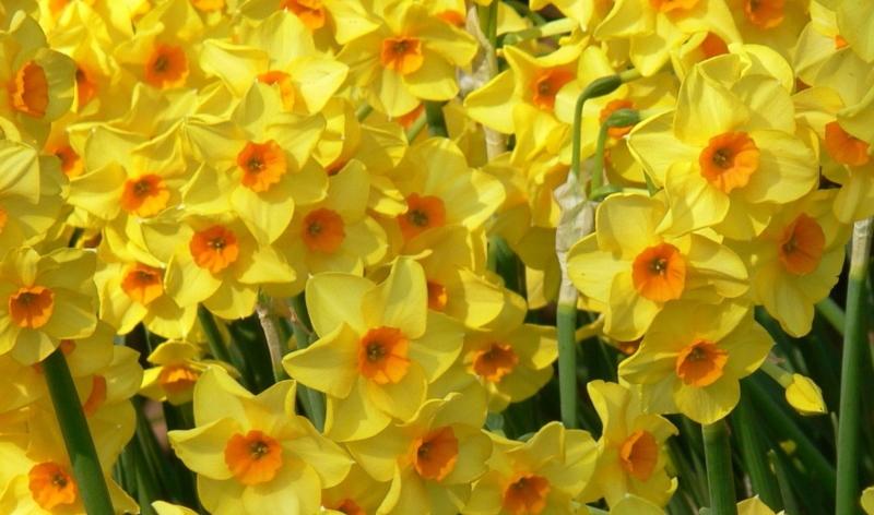 """Narzissen (""""Narcissus Martinette"""") oder Osterglocken sind nach den Schneeglöckchen oder Winterlingen die ersten Frühlingsboten."""