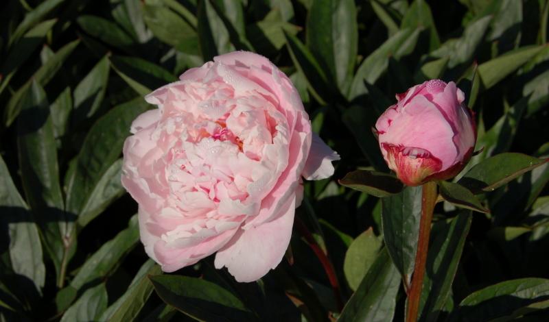 """Pfingstrosen (""""Paeonia lactiflora"""") gelten seit jeher als besonders edle Blumen."""