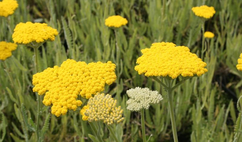 Die Blütezeit der Achillea millefolium reicht von Mai bis Oktober: Ideen für den Garten