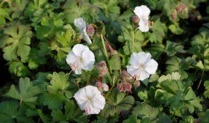 Der Storchschnabel (Geranium) kann mit langen Blüten und dekorativem Laub überzeugen.